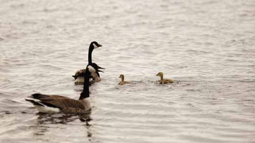 Geese Outfitting